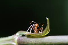 Περίπατος μυρμηγκιών στο φύλλο Στοκ εικόνες με δικαίωμα ελεύθερης χρήσης