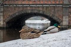 Περίπατος παπιών στο πρώτο χιόνι στο κανάλι πόλεων Στοκ Εικόνες