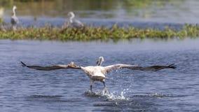 Περίπατος πουλιών και έρευνα για τα τρόφιμα στοκ εικόνες