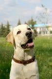 περίπατος σκυλιών Στοκ Εικόνες