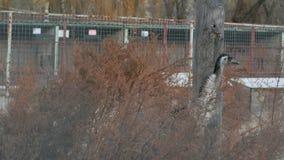 Περίπατος στρουθοκαμήλων στο ζωολογικό κήπο απόθεμα βίντεο