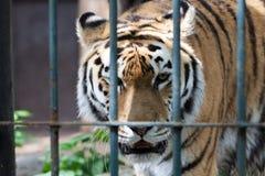 Περίπατος τιγρών στο κλουβί ζωολογικών κήπων Στοκ Εικόνα