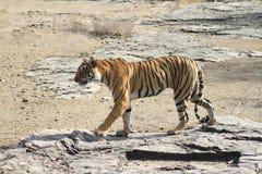 Περίπατος τιγρών Στοκ φωτογραφία με δικαίωμα ελεύθερης χρήσης