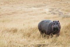 Περίπατος Hippopotamus στο λιβάδι Στοκ εικόνα με δικαίωμα ελεύθερης χρήσης