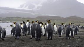 Περίπατος Penguins βασιλιάδων στην παραλία φιλμ μικρού μήκους