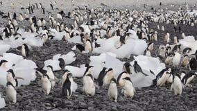 Περίπατος Penguins Adelie κατά μήκος της παραλίας φιλμ μικρού μήκους