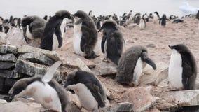 Περίπατος Penguins Adelie κατά μήκος της παραλίας απόθεμα βίντεο
