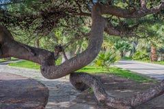Περίπλοκα καμμμένοι κορμοί ενός κωνοφόρου δέντρου Στοκ Φωτογραφία