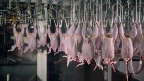 Περίπλοκη διαδρομή εργοστασίων της μεταφοράς των σφαγίων κοτόπουλου απόθεμα βίντεο