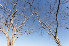 Περίληψη του κλάδου δέντρων χωρίς φύλλο στο μπλε ουρανό Στοκ Εικόνα