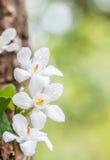 Περίληψη των άσπρων λουλουδιών, antidysenterica Wrightia, στρόβιλος κοραλλιών Στοκ εικόνες με δικαίωμα ελεύθερης χρήσης