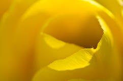 Περίληψη φύσης: Τυλιγμένος στις χρυσές πτυχές των κίτρινων πετάλων τουλιπών Στοκ Φωτογραφία