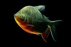 Περίληψη ψαριών Pacu Στοκ Φωτογραφίες