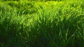 Περιβάλλον Greeen Φρέσκια χλόη άνοιξη αναδρομικά φωτισμένη από τον ήλιο φιλμ μικρού μήκους