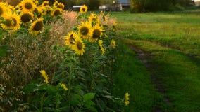 Περιθώρια των τομέων ηλίανθων στις ακτίνες της ρύθμισης του ήλιου απόθεμα βίντεο