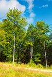 Περιθώριο του δάσους οξιών στοκ εικόνες με δικαίωμα ελεύθερης χρήσης