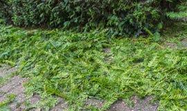 Περικοπές περικοπής από Taxus Baccata ή τον ευρωπαϊκό φράκτη Yew στοκ εικόνα