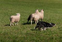 Περικοπές σκυλιών αποθεμάτων δεξιά γύρω από την ομάδα προβάτων & x28 Ovis aries& x29  Στοκ εικόνα με δικαίωμα ελεύθερης χρήσης