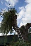 Περικοπή κηπουρών μια ιτιά το φθινόπωρο στοκ φωτογραφίες με δικαίωμα ελεύθερης χρήσης