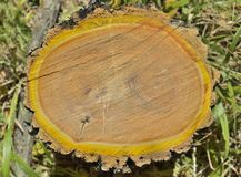 Περικοπή του δέντρου 14 φελλού Στοκ Φωτογραφία