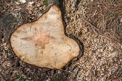 Περιορίστε ένα δέντρο με έναν πυρήνα με μορφή ενός αστεριού του Δαυίδ Δασικό διάστημα αντιγράφων πεύκων Καταστροφή των δασών στοκ φωτογραφία με δικαίωμα ελεύθερης χρήσης