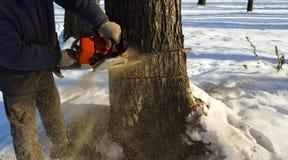 Περιορίστε το δέντρο με ένα αλυσιδοπρίονο στοκ εικόνα