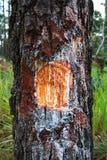 Περιορίστε το δέντρο πεύκων στοκ φωτογραφία