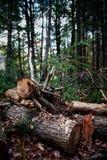 Περιορίστε το δέντρο πεύκων στοκ φωτογραφία με δικαίωμα ελεύθερης χρήσης