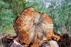 Περιορίστε το δέντρο στα ξύλα στοκ εικόνα