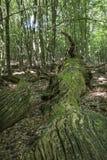 Περιορίστε το δρύινο δέντρο στοκ εικόνα