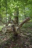 Περιορίστε το δρύινο δέντρο στοκ φωτογραφίες με δικαίωμα ελεύθερης χρήσης