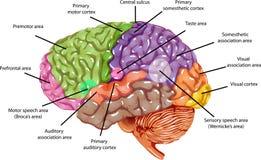 Περιοχές εγκεφάλου Στοκ Εικόνες