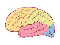 Περιοχές του ανθρώπινου εγκεφάλου ελεύθερη απεικόνιση δικαιώματος