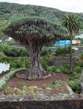 Περιοχή κήπων με το δέντρο δράκων Το δέντρο draco Dracaena είναι φυσικό σύμβολο του νησιού Tenerife Icon de Los Vinos πόλη, καναρ Στοκ φωτογραφία με δικαίωμα ελεύθερης χρήσης