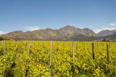Περιοχή κρασιού Stellenbosch κοντά στο Καίηπ Τάουν, Νότια Αφρική Στοκ Φωτογραφίες
