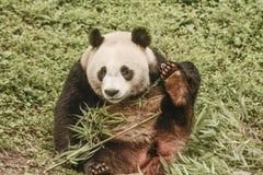 Περιοχή συντήρησης της Panda, Chengdu Στοκ φωτογραφίες με δικαίωμα ελεύθερης χρήσης