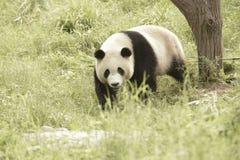 Περιοχή συντήρησης της Panda, Chengdu Στοκ Φωτογραφίες