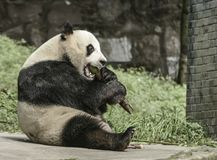 Περιοχή συντήρησης της Panda, Chengdu Στοκ Εικόνες