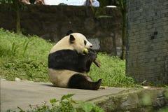 Περιοχή συντήρησης της Panda, Chengdu Στοκ Φωτογραφία