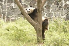 Περιοχή συντήρησης της Panda, Chengdu Στοκ φωτογραφία με δικαίωμα ελεύθερης χρήσης