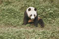 Περιοχή συντήρησης της Panda, Chengdu Στοκ Εικόνα