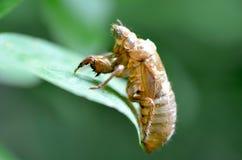 Περιοδικό Cicada δέρμα Στοκ Εικόνα