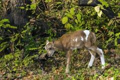 Περιπέτειες αρνιών Mouflon Στοκ φωτογραφία με δικαίωμα ελεύθερης χρήσης
