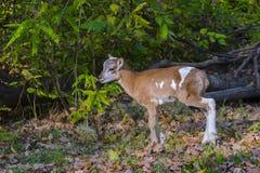 Περιπέτειες αρνιών Mouflon Στοκ Εικόνες