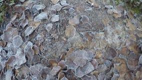 Περιπλάνηση σε έναν κρύο παγωμένο δασικό βρώμικο δρόμο που περιβάλλεται από τα δυνατά δέντρα πεύκων στην ηλιοφάνεια ξημερωμάτων απόθεμα βίντεο
