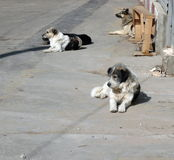 Περιπλανώμενα σκυλιά Στοκ Εικόνα