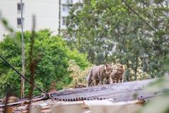 Περιπλανώμενες γάτες στη στέγη στοκ φωτογραφία με δικαίωμα ελεύθερης χρήσης
