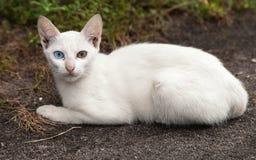 Περιπλανώμενη άσπρη γάτα με τα διαφορετικός-χρωματισμένα μάτια Στοκ Φωτογραφίες