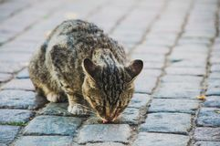 Περιπλανώμενη γάτα που τρώει από το έδαφος στοκ φωτογραφία