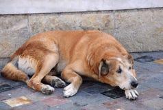 περιπλανώμενη οδός σκυλ&i Στοκ εικόνες με δικαίωμα ελεύθερης χρήσης